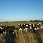 Lovely cows and blue sky